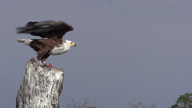 african fish-eagle, haliaeetus vocifer, adult taking off from branch, in flight with fish in its claws, chobe river, okavango delta in botswana, slow motion - aquila video stock e b–roll