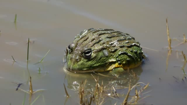 African giant bullfrogs (Pyxicephalus adspersus) mating and fighting, South Africa African giant bullfrogs (Pyxicephalus adspersus) mating and fighting in shallow water, South Africa amphibian stock videos & royalty-free footage