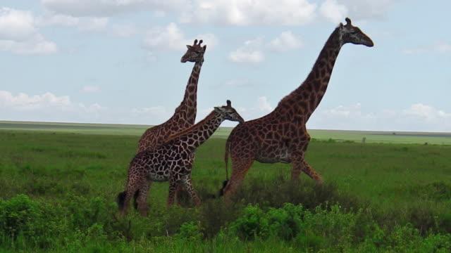 afrikanska giraff familj - djurfamilj bildbanksvideor och videomaterial från bakom kulisserna