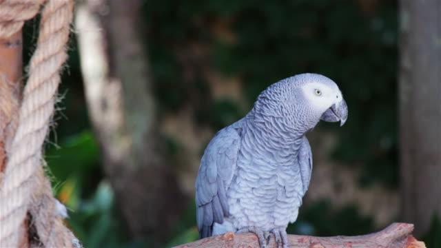 vidéos et rushes de perroquet jaco perché sur une branche - apprivoisé