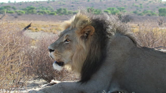 African Lion, close up video