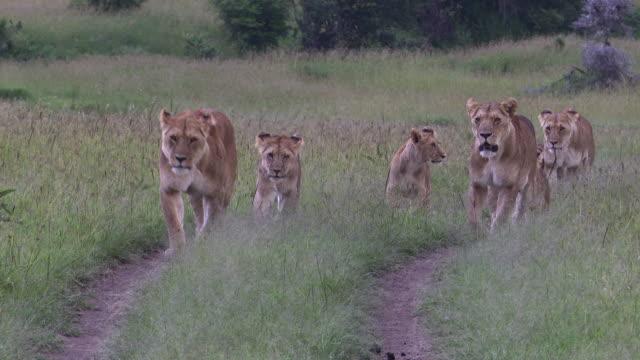 afrika aslanı dişi yavruları - hayvan avlama stok videoları ve detay görüntü çekimi