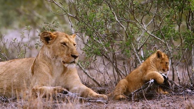 stockvideo's en b-roll-footage met african lion in kruger national park, zuid-afrika - leeuwin