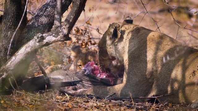 African lion in Kruger National park, South Africa African lioness with cub eating prey in Kruger National park, South Africa ; Specie Panthera leo family of Felidae animal family stock videos & royalty-free footage