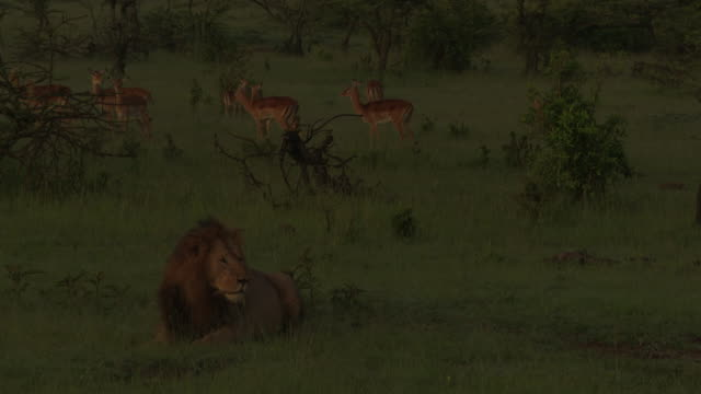 African lion male with a herd of Impala