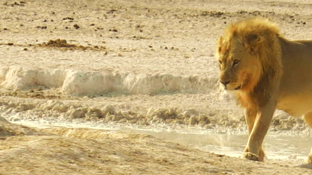 African lion Namibia