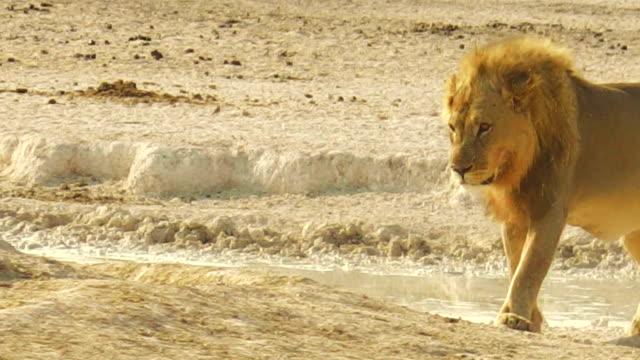 African lion Namibia African lion walking at sunset in Etosha National Park, Namibia, Africa. namibia stock videos & royalty-free footage