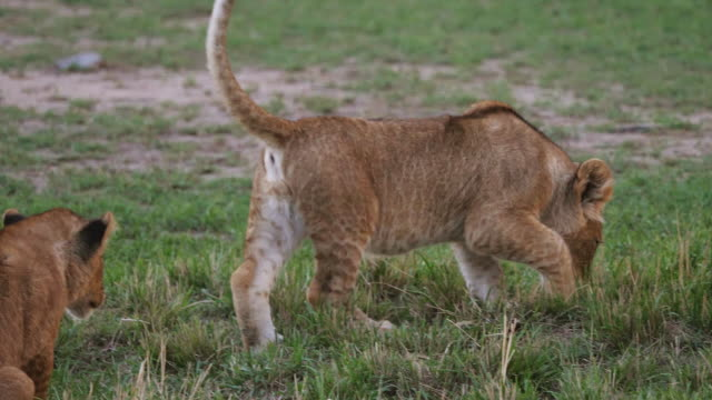 Two Lion Cubs Stock Videos and Royalty-Free Footage - iStock
