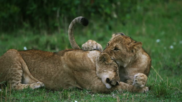 african lion, panthera leo, cubs playing, masai mara park in kenya, real time 4k - молодое животное стоковые видео и кадры b-roll