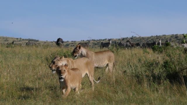 afrika aslanı, panthera leo, avcılık, burchell zebralar, kenya, gerçek zamanlı 4 k tsavo park sürüsü erkek - hayvan avlama stok videoları ve detay görüntü çekimi