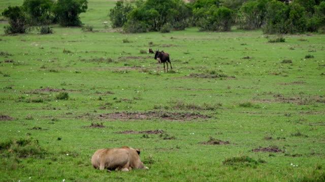 stockvideo's en b-roll-footage met afrikaanse leeuw, panthera leo, vrouwtje jagen wildebest, masai mara park in kenia, realtime 4k - leeuwin