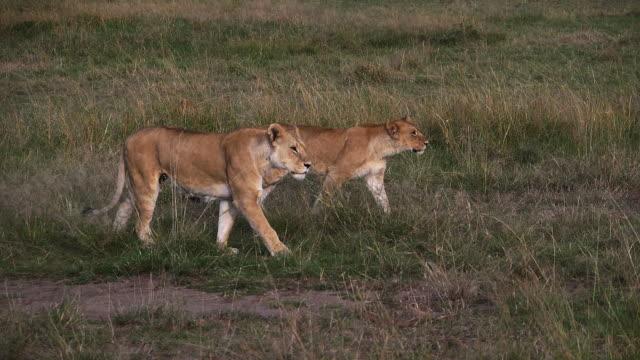 afrika aslanı, panthera leo, kadın yürüyüş yoluyla savannah, masai mara park kenya, yavaş hareket - etçiller stok videoları ve detay görüntü çekimi