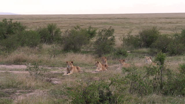 afrika aslanı, panthera leo, savannah, kenya, masai mara parkında grubunda yavaş hareket - etçiller stok videoları ve detay görüntü çekimi