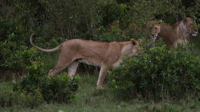 stockvideo's en b-roll-footage met afrikaanse leeuw, panthera leo, groep permanent in de bush, masai mara park in kenia, realtime 4k - leeuwin