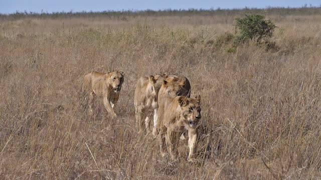 stockvideo's en b-roll-footage met afrikaanse leeuw, panthera leo, groep wandelen door savannah, nairobi park in kenia, slow motion - leeuwin