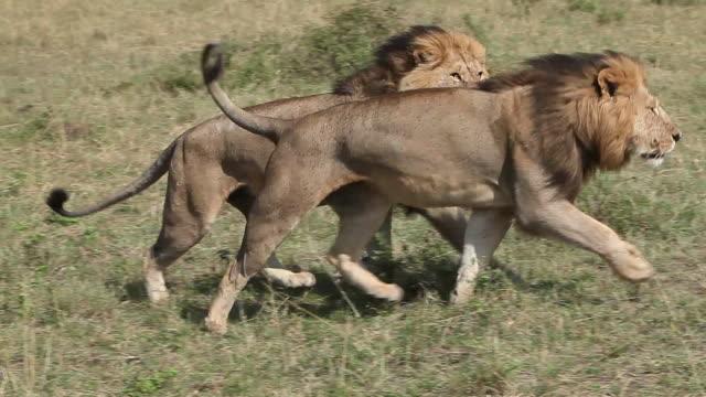 African Lion, panthera leo, Males walking through Savanna, Masai Mara Park in Kenya, Real Time