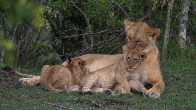 stockvideo's en b-roll-footage met afrikaanse leeuw, panthera leo, moeder en cub, playing en zogen, masai mara park in kenia, realtime 4k - leeuwin