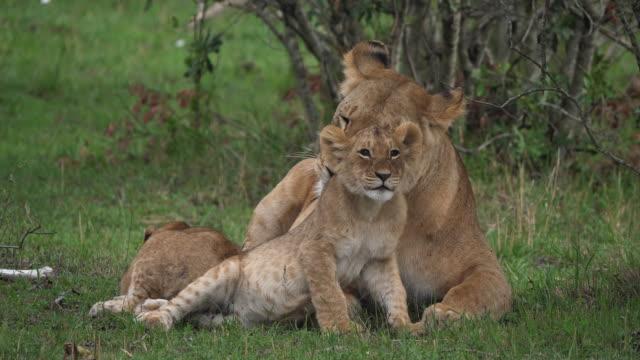 african lion, panthera leo, mother licking its cub, masai mara park in kenya, real time 4k - молодое животное стоковые видео и кадры b-roll