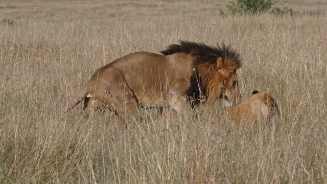 african lion, panthera leo, pair mating, masai mara park in kenya, real time 4k - animale femmina video stock e b–roll