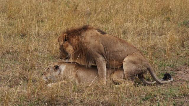 African Lion, panthera leo, Pair Mating, Masai Mara Park in Kenya, Real Time 4K - vídeo