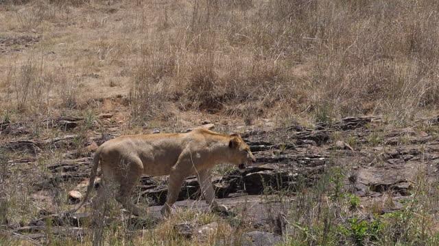stockvideo's en b-roll-footage met afrikaanse leeuw, panthera leo, wandelen in savannah, nairobi park in kenia, langzame motie - leeuwin