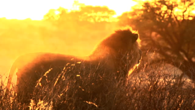 african lion - hunting stock videos and b-roll footage