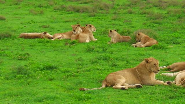 Afrikanische Löwen hautnah in Ndutu – Video