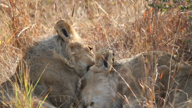 african lions grooming each other in friendly affection - уход за поверхностью тела у животных стоковые видео и кадры b-roll