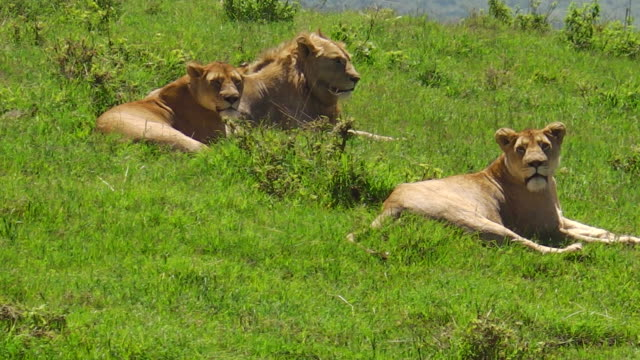 Afrikanische Löwen in Ngorongoro Crater – Video