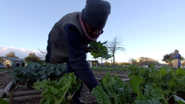 African male collects spinach from the vegetable garden