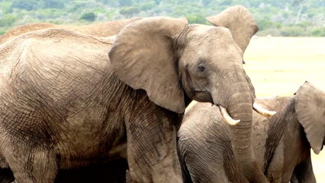 vídeos de stock e filmes b-roll de african mother elephant - dangerous condition - quénia