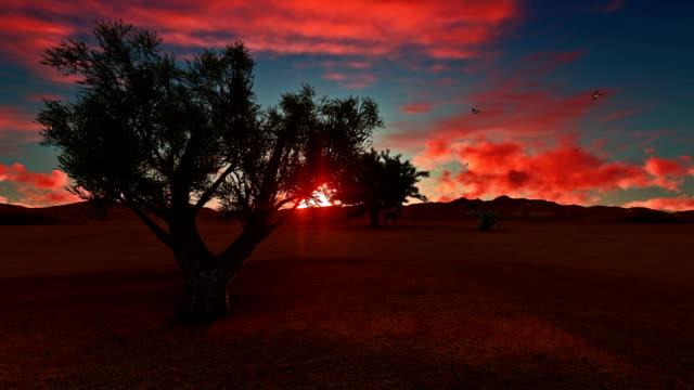 vidéos et rushes de olivier africaine au coucher du soleil - olivier