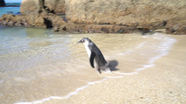 African penguin at Boulders Beach African penguin at Boulders Beach cape town stock videos & royalty-free footage