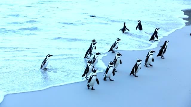 vídeos de stock, filmes e b-roll de pinguim-africano. boulders beach - penedo