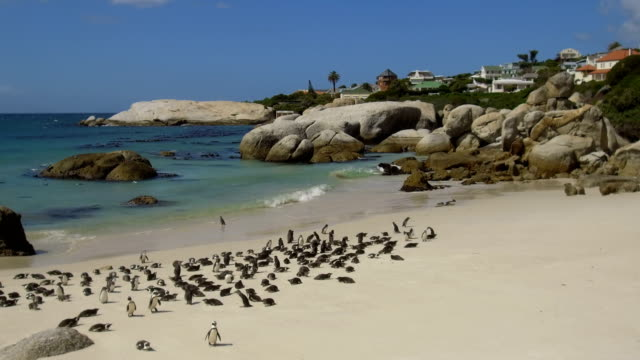 African Penguins at Boulders Beach, South Africa African Penguins at Boulders Beach, South Africa western cape province stock videos & royalty-free footage