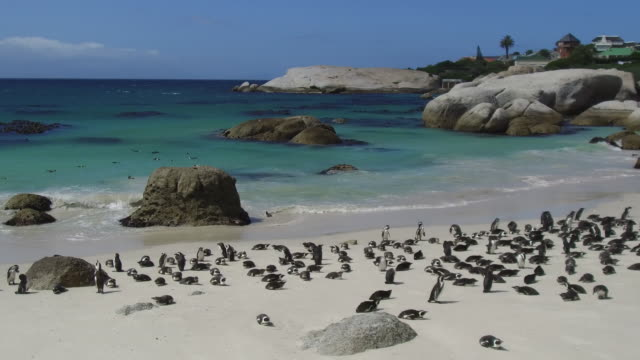 african penguins colony at boulders bay in south africa - wildlife travel stock videos and b-roll footage