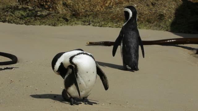 африканский пингвинов - уход за поверхностью тела у животных стоковые видео и кадры b-roll