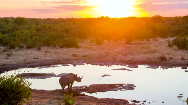 WS African Rhinoceros Drinking Water video