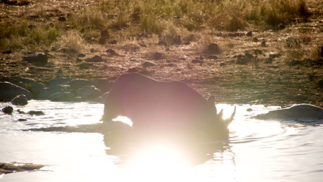 LS African Rhinoceros Taking A Bath video