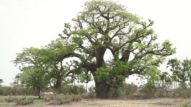african savanna landscape, huge baobab tree and big horned african cows - senegal video stock e b–roll