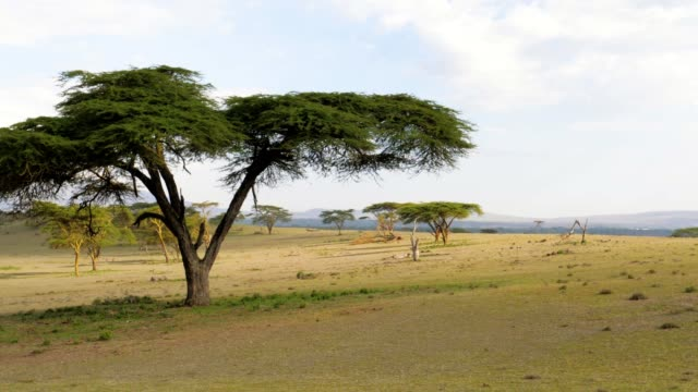 african savanna with acacia trees and a beautiful green meadow - sud est video stock e b–roll
