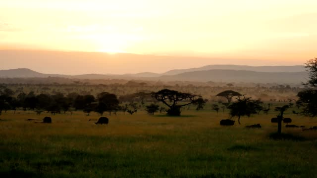 African Savannah Landscape At Sunset With Acacia Trees And Grazing Wild Buffalo African Savannah landscape at sunset. With silhouettes of acacia trees, bushes and grazing wild buffalo. Background of plains and small hills, with light haze of dust or fog at surface of the ground horizon over land stock videos & royalty-free footage