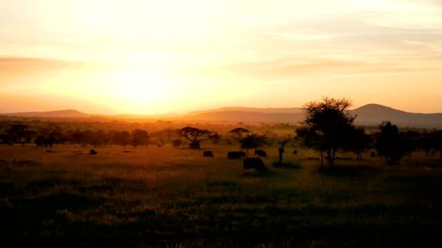 afrikanische savanne landschaft bei sonnenuntergang mit akazienbäumen und grazing buffalo - savanne stock-videos und b-roll-filmmaterial