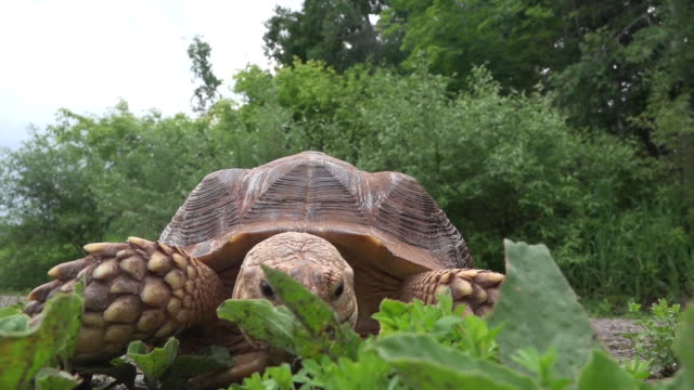 African Spurred tortoise eating grass Close up of tortoise eating grass tortoise stock videos & royalty-free footage