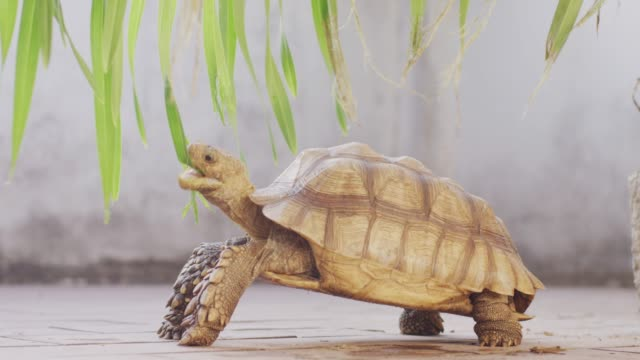 4K African Spurred Tortoise eating green leaves Shot on RED dragon giant tortoise stock videos & royalty-free footage