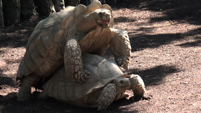 African spurred tortoise (Geochelone sulcata) mating. African spurred tortoise (Geochelone sulcata) mating. tortoise stock videos & royalty-free footage