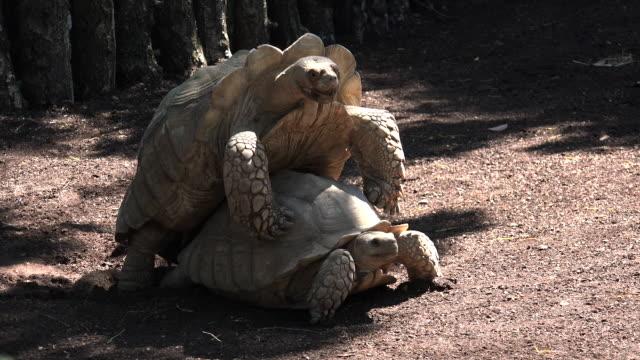 african angespornt schildkröte (geochelone sulcata) paarung. - menschliches sexualverhalten stock-videos und b-roll-filmmaterial