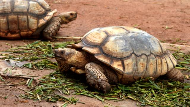 african spurred tortoise (geochelone sulcata) resting in the garden - żółw lądowy filmów i materiałów b-roll