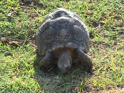 African tortoise video