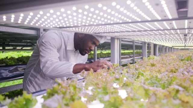 african vertical farmer examining indoor crop development - risorse sostenibili video stock e b–roll